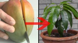mango-ziehen